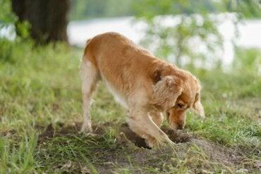 Zakopywanie jedzenia – czemu psy to robią?