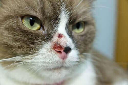 Nowotwór skóry u kota - przyczyny i leczenie