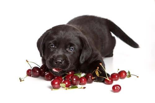 szczeniak jedzący wiśnie, toksyczne jedzenie dla psów