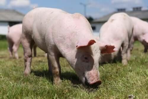 świnie jedzące trawę