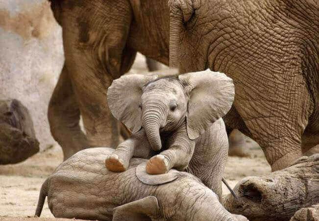 bawiące się słoniątka