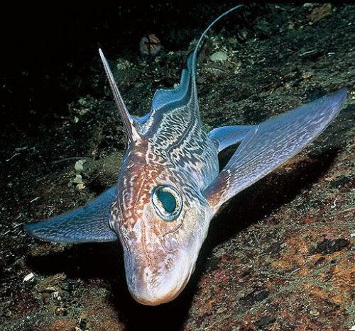 Chimera – niezwykła ryba z głębin oceanu
