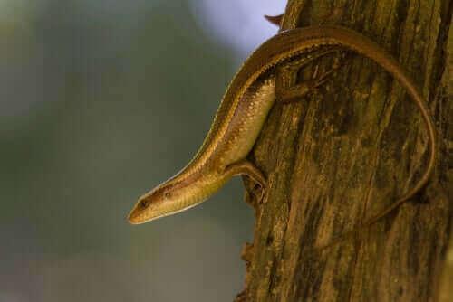 Oto scynk - wąż czy może jednak jaszczurka?
