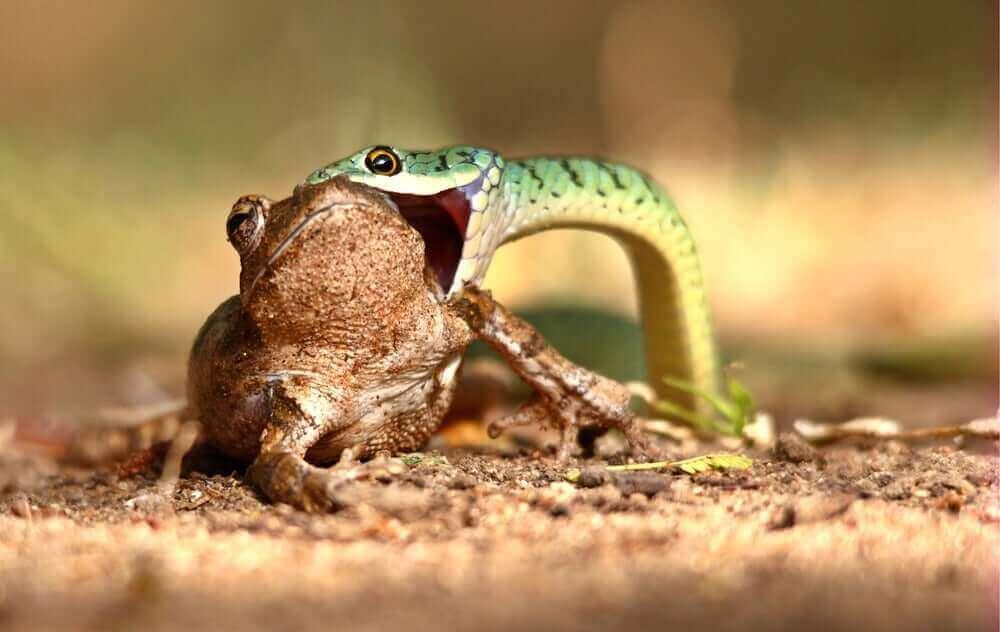 wąż jedzący żabę