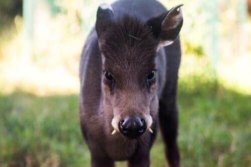 Jelonek czubaty: poznaj jelenia z kłami