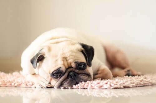 Zespół przewlekłego zmęczenia u psa