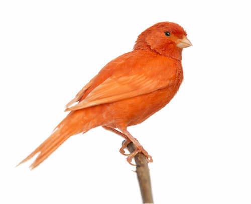 czerwony kanarek