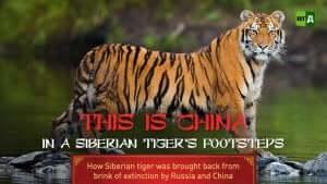 film dokumentalny o tygrysach