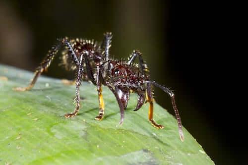 mrówka biała