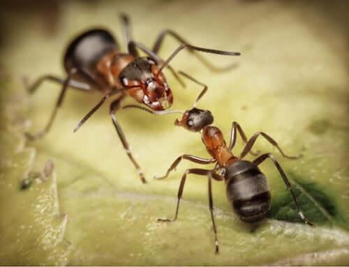 Mrówki żołnierze – dowiedz się o nich więcej