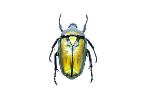 Opieka nad chrząszczem – wszystko, co musisz wiedzieć