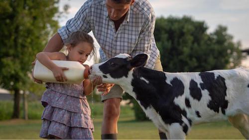 ciele pijące mleko a jego odporność