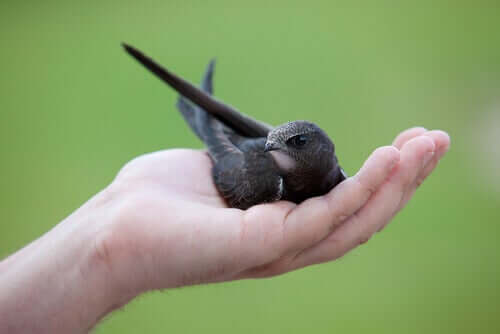 Młode jerzyki mogą potrzebować Twojej pomocy
