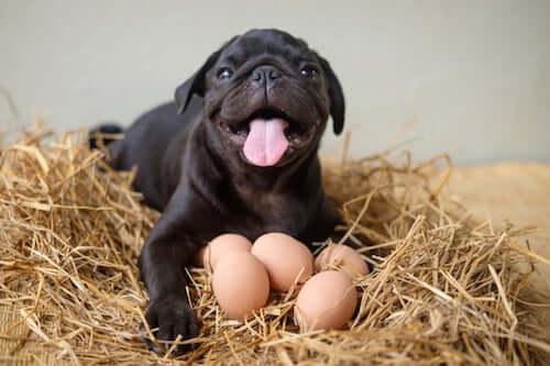 mops i jajka
