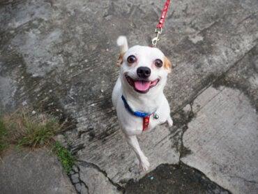 Psy na spacerze, które tracą zainteresowanie opiekunem