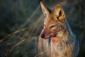 Dzikie psowate – poznaj te przebiegłe zwierzęta
