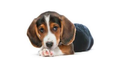 Westfalski gończy krótkonożny: miniaturowy pies myśliwski