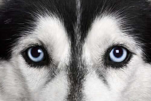 zbliżenie na psa husky