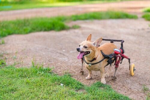 pies na wózku