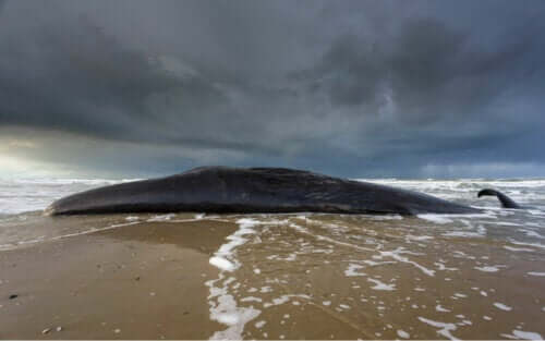 wieloryb na brzegu