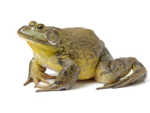 Żaby ryczące: dlaczego nie nadają się na pupili