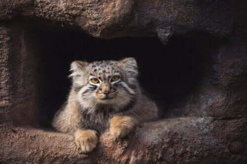 Manul stepowy: koci himalajski samotnik