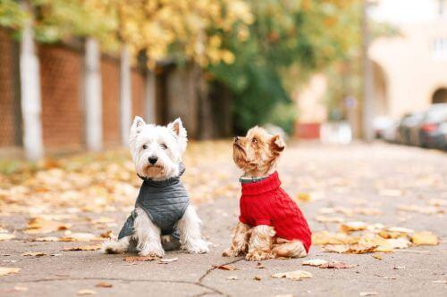 Dwa psy ubrane w kolorowe swetry