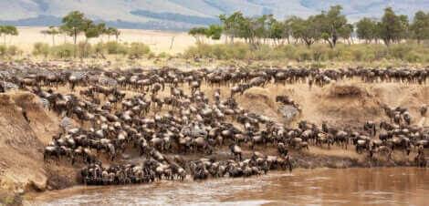 Gnu podczas przechodzenia rzeki zwierzęta wędrowne