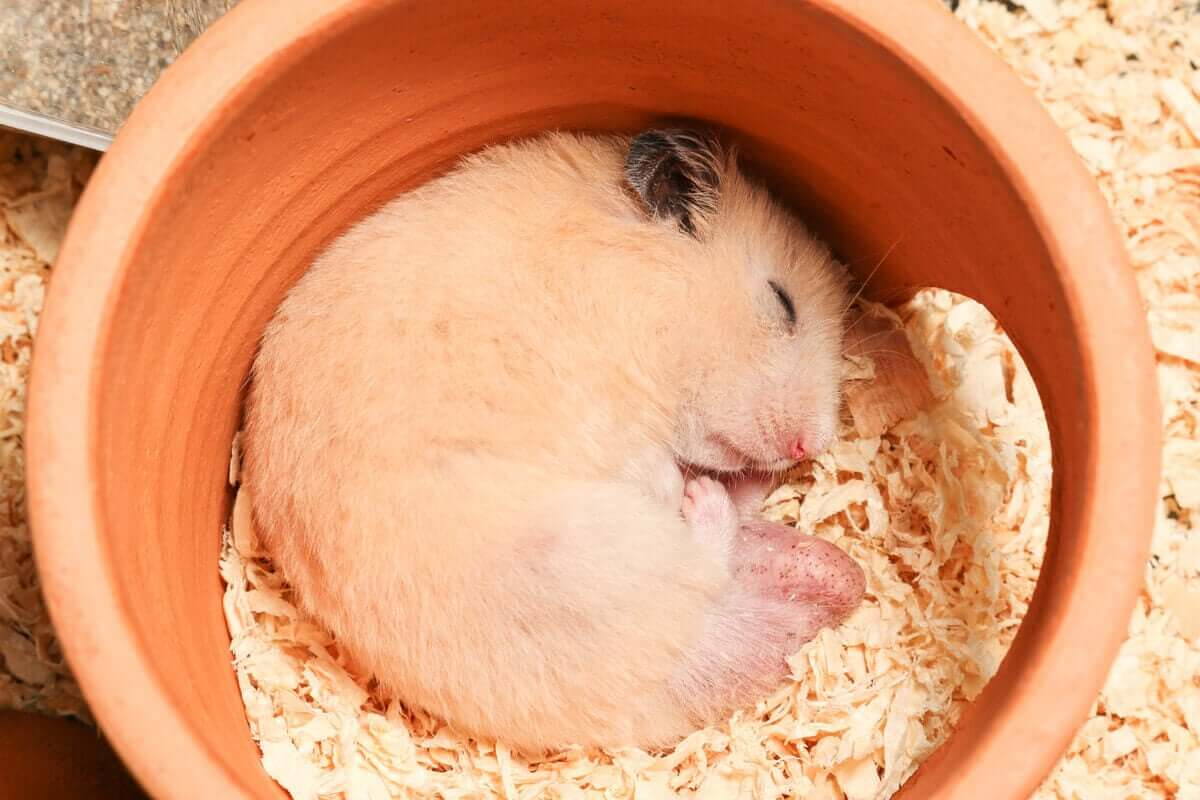 hibernujący chomik