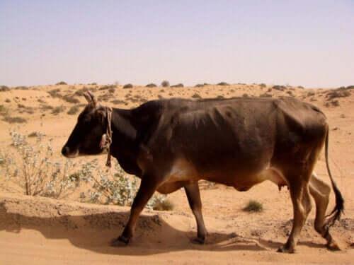 Zdolność aklimatyzacyjna zwierząt a decyzje rolników