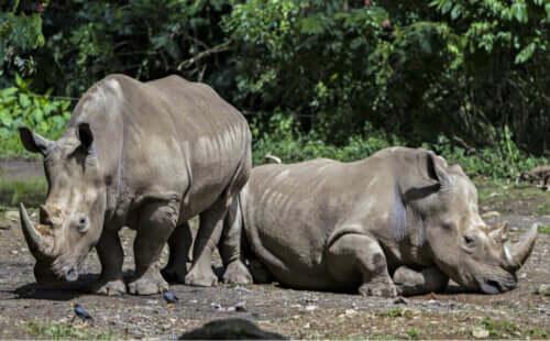 Nosorożec jawajski: charakterystyka i zwyczaje żywieniowe