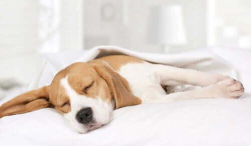 Pies śpi na łóżku