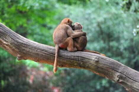Przytulające się małpki, uczucia i emocje u zwierząt