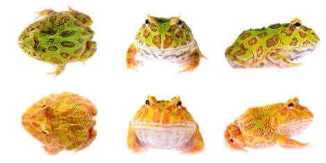 Różne rodzaje żaby Pacman
