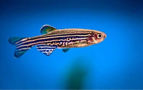 Ryba zebra
