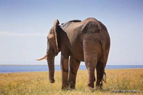 Słoń na żółtozielonej łące