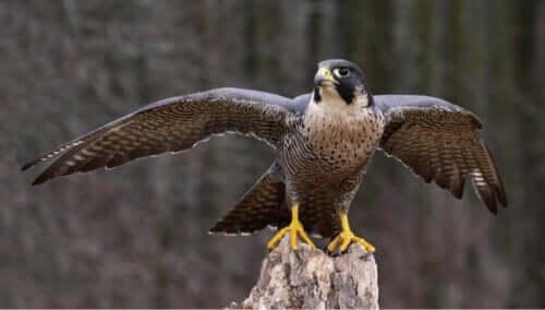 Sokół wędrowny Dzienne ptaki drapieżne