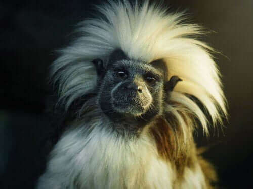 Tamaryna białoczuba: poznaj nawyki tej wyjątkowej małpki