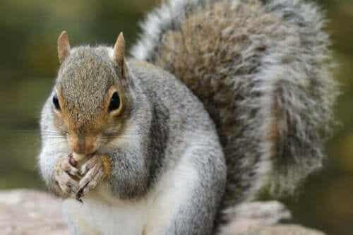 Wiewiórka szara oraz jej rola w lasach