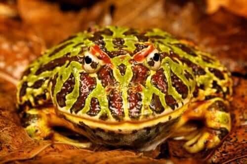 Żaba pacman jako zwierzątko domowe