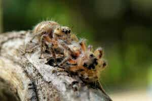Pająk zjadający swoje potomstwo