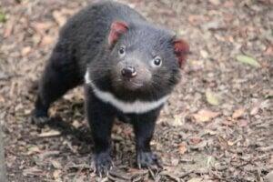 Diabeł tasmański powraca do Australii kontynentalnej