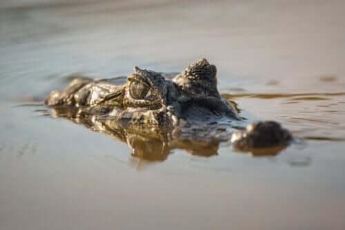 Kajman szerokopyski: zagrożenie i ochrona gatunku