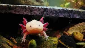 Mały aksolotl w akwarium