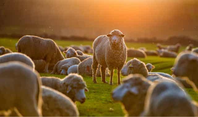 Stado owiec na łące, choroba owiec, bąblowica