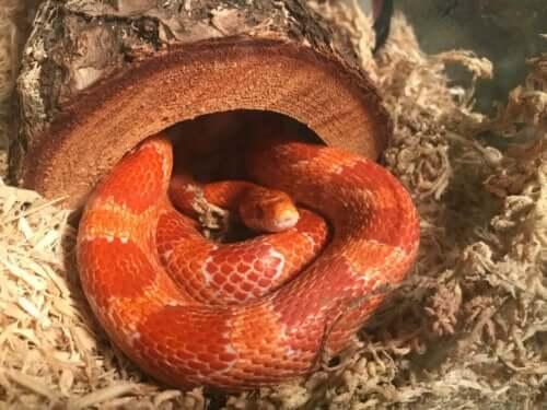 Wąż zbożowy w kryjówce