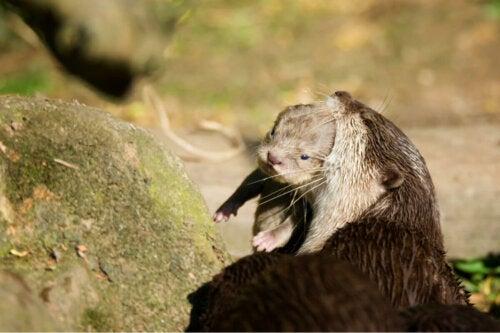 Wydra niesie młode w pysku, zachowanie afektywne wydr