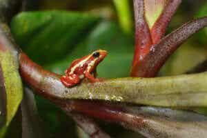 Żaba widmowa