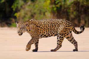 Chodzący jaguar