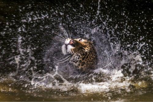 Gepard w kąpieli, jeden z najszybszych kotów